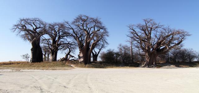 botswana safari nxai pan baobab africa safariadv exploringafrica romina facchi baines