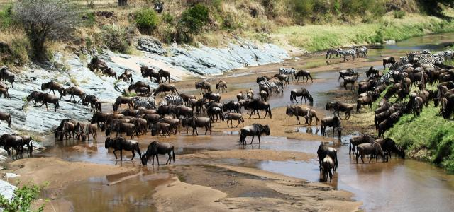The Great Migration in Serengeti National Park: crossing wildebeest game drive safari Mara river