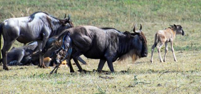 The Great Migration in Serengeti National Park: in january and february wildebeests gave birth their babies
