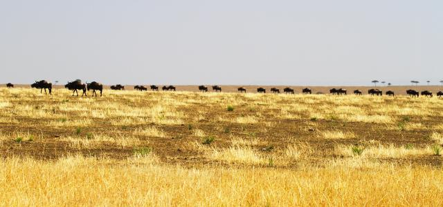 The Great Migration in Serengeti National Park: wildebeests and zebras start to go to north to Maasai Mara River