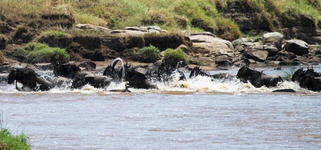 The Great Migration in Serengeti National Park: crossing Mara River