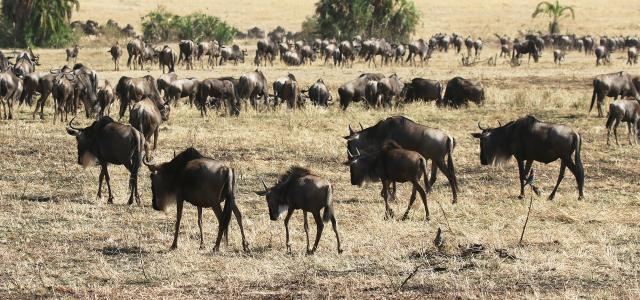 The Great Migration in Serengeti National Park: pasture in Masai Mara and North Serengeti plains, mothers are pregnant again