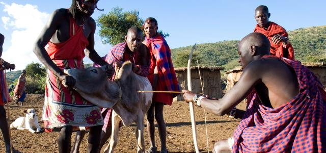 maasai use cow blood like food