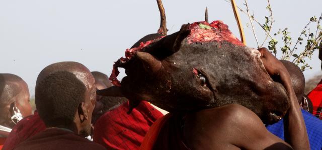 maasai ritual bring a cow head