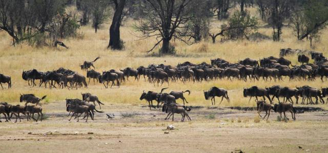The Great Migration in Serengeti National Park: going to north looking for new pastures during the dry season