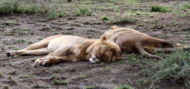 tanzania ndutu lion exploringafrica safariadv romina facchi