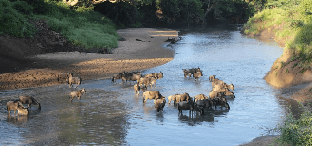 The Great Migration in Serengeti National Park in Tanzania: Grumeti river