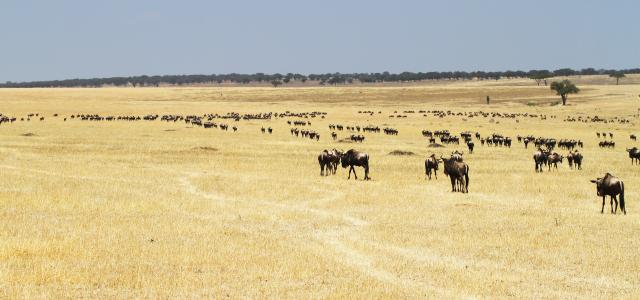 The Great Migration in the south of Serengeti National Park: return to south