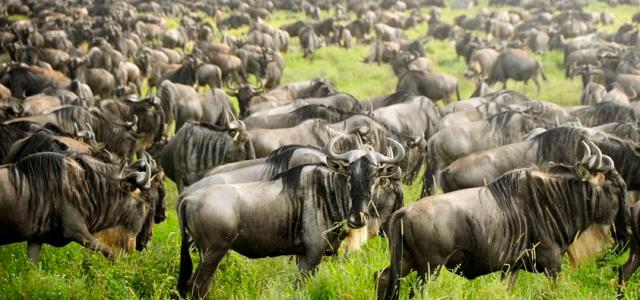 The Great Migration in the south of Serengeti National Park in Tanzania