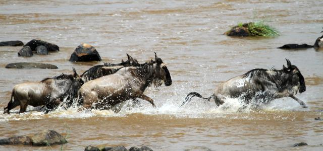 The Great Migration in Serengeti National Park in Tanzania:crossing Mara River, beautiful landscape with thousands of wildebeest aka gnus and zebrasa River, beautiful landscape with thousands of wildebeest aka gnus and zebras