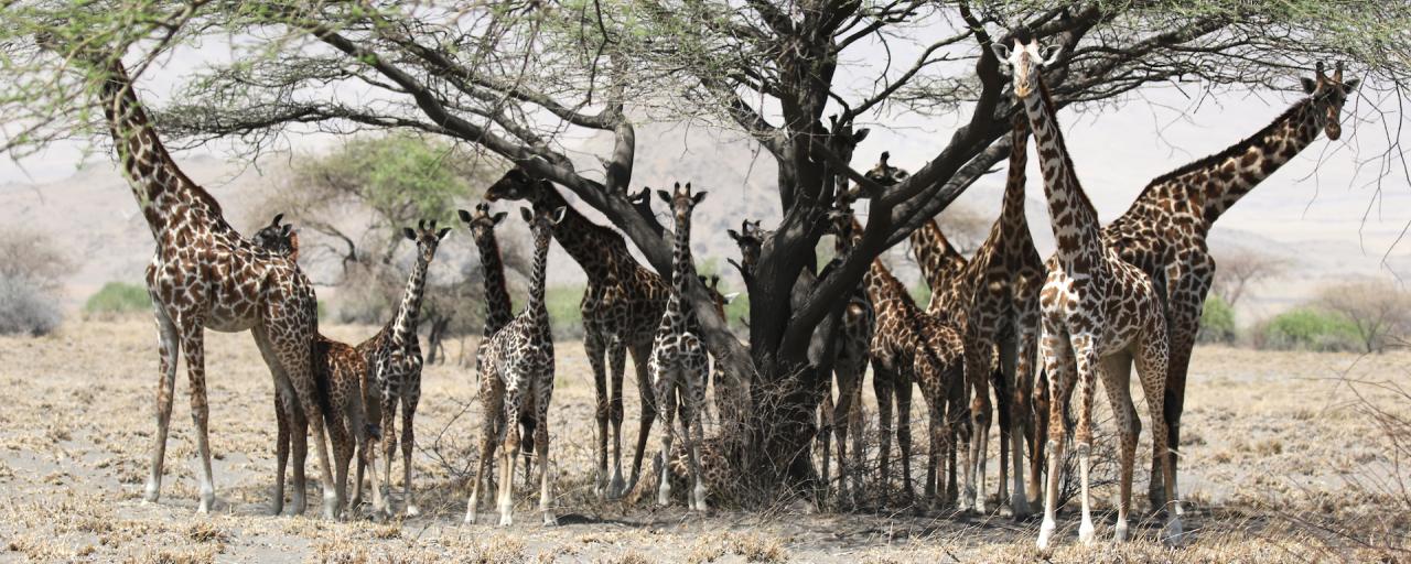 tanzania lake natron giraffe