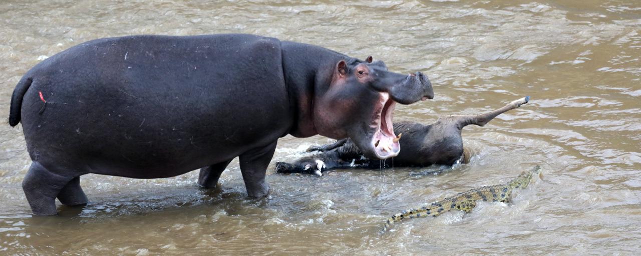 kenya hippo masai mara exploringafrica safariadv