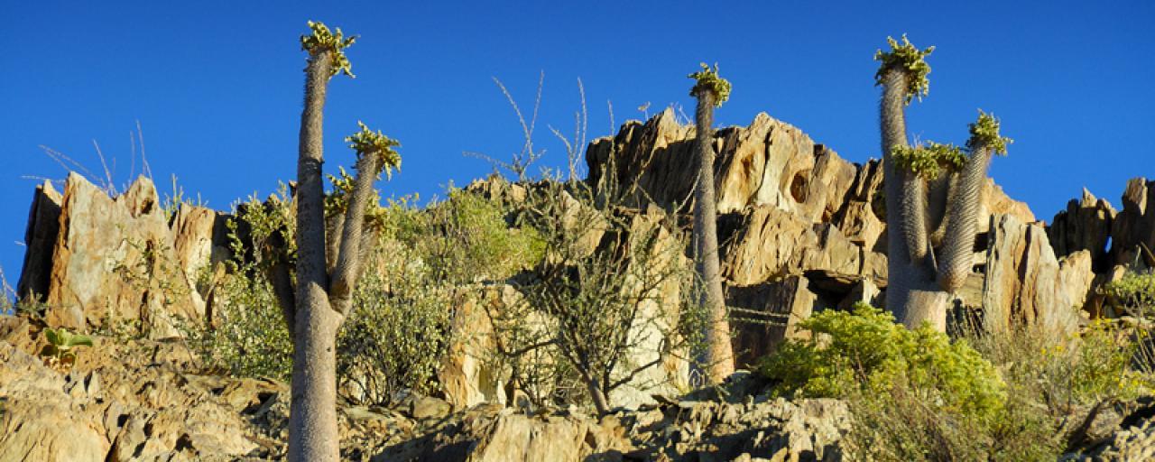nama people namibia halfmens tree