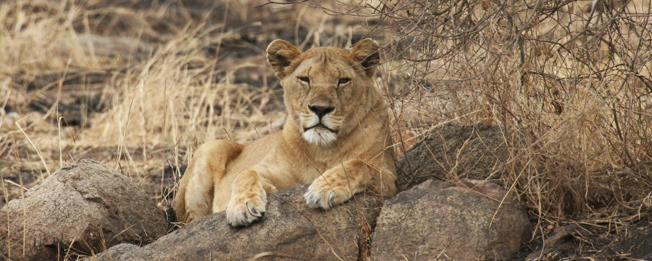 Serengeti National Park: lion laying on a kopjes