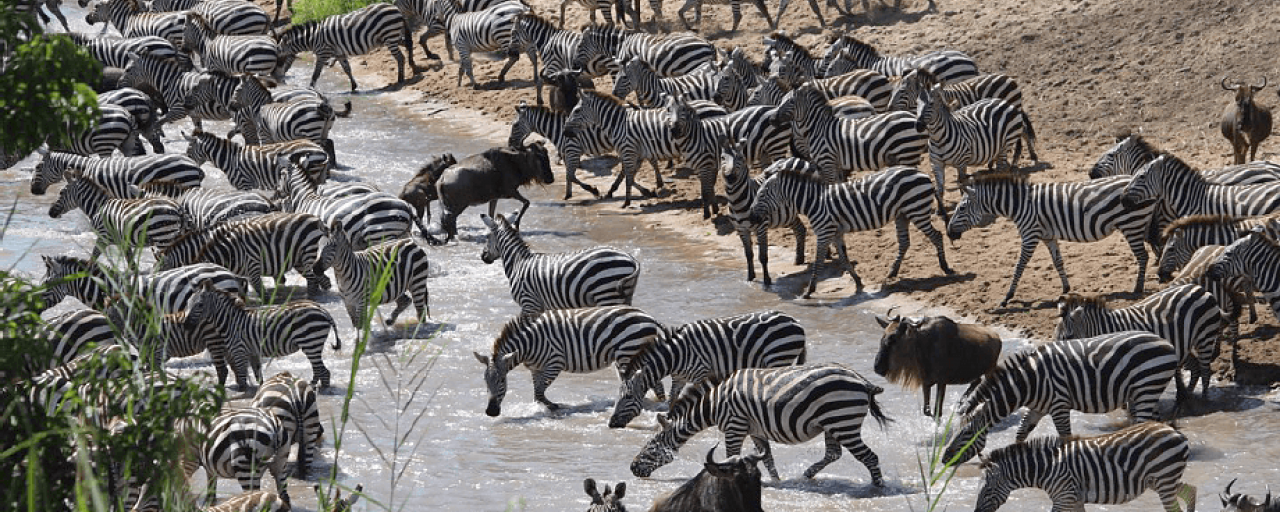 Serengeti National Park: Grumeti River with thousands of zebras