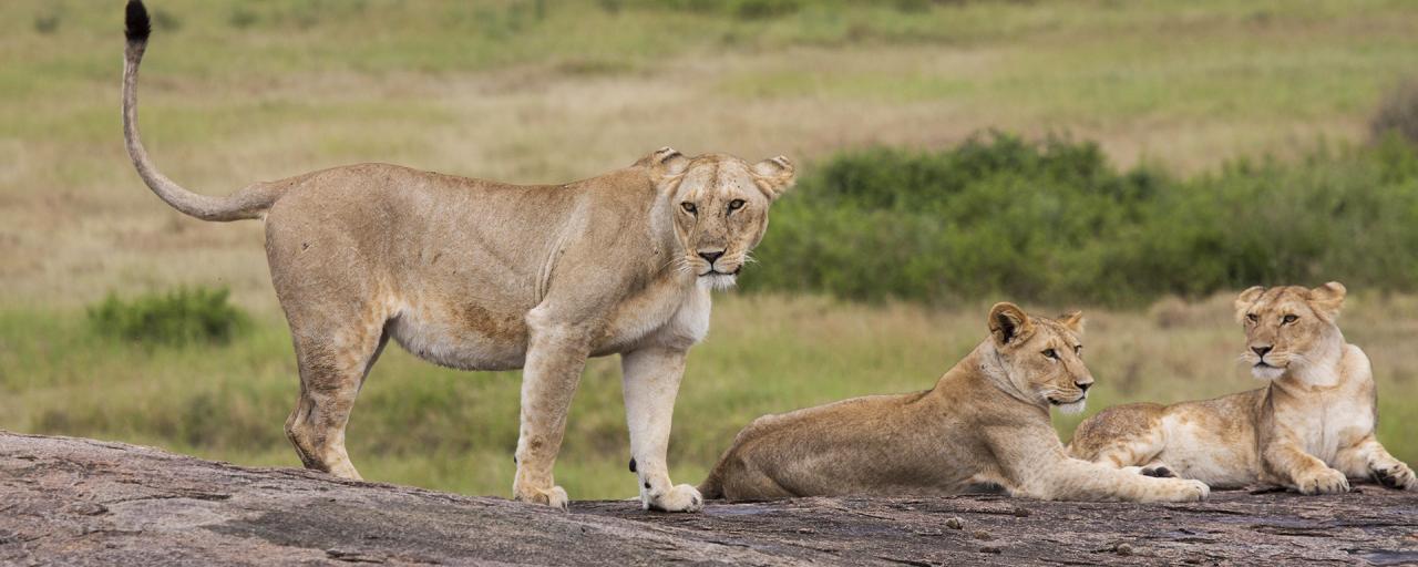 Serengeti National Park: Lions at Simba Kopjes