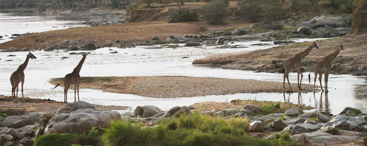 Serengeti National Park: Giraffes at Lamai Triangle