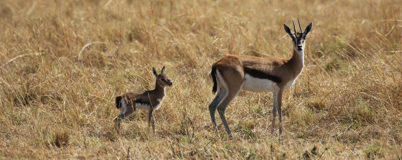 Serengeti National Park: Thomson gazelle, mother and baby