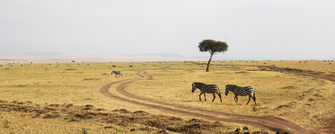 great migration zebras in Masai Mara National Reserve