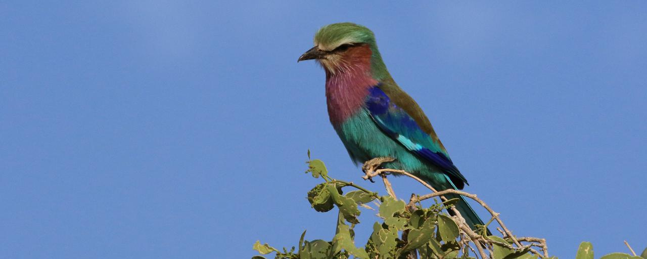 Samburu National Reserve lilac breasted roller Kenya
