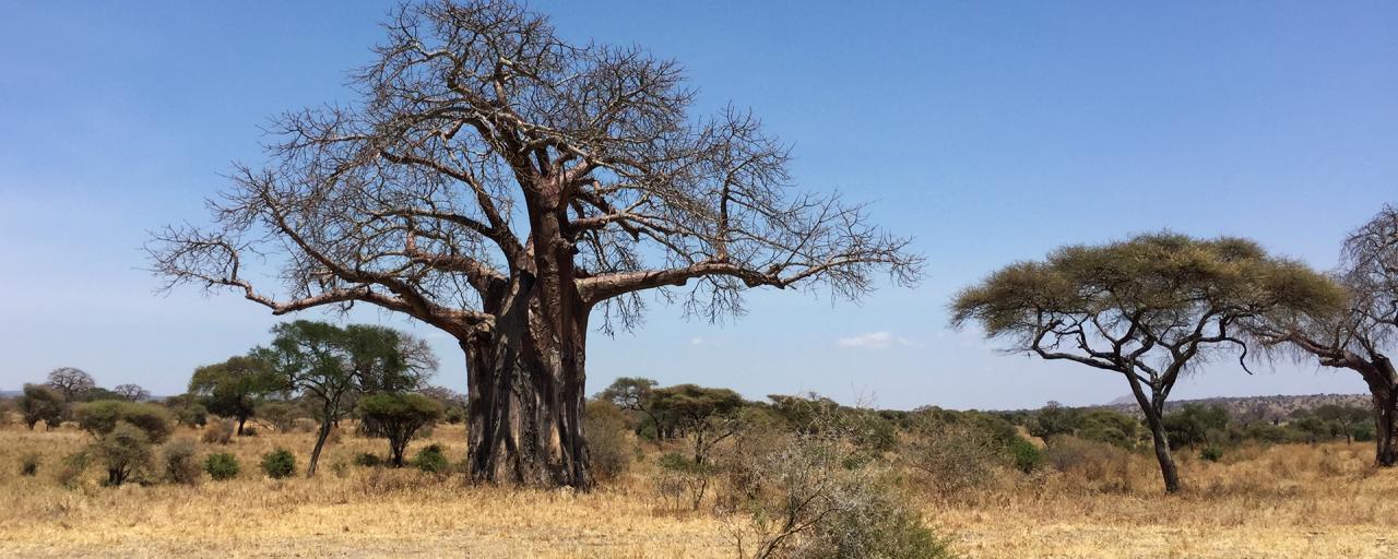 Tarangire National Park: majestic baobab adansonia digitata