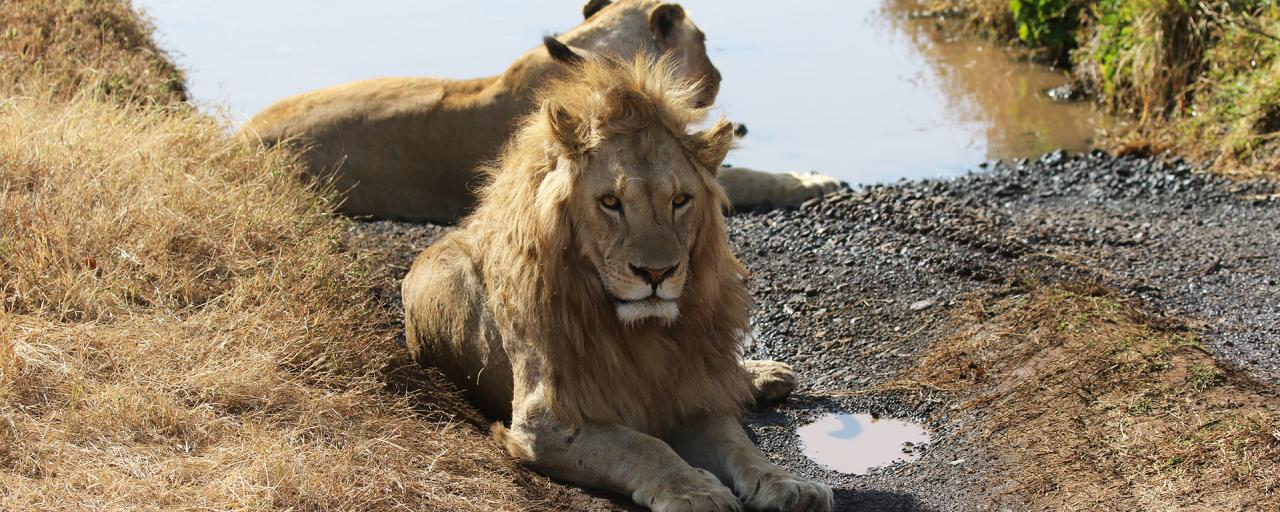 beautiful lions in Ngorongoro Conservation Area