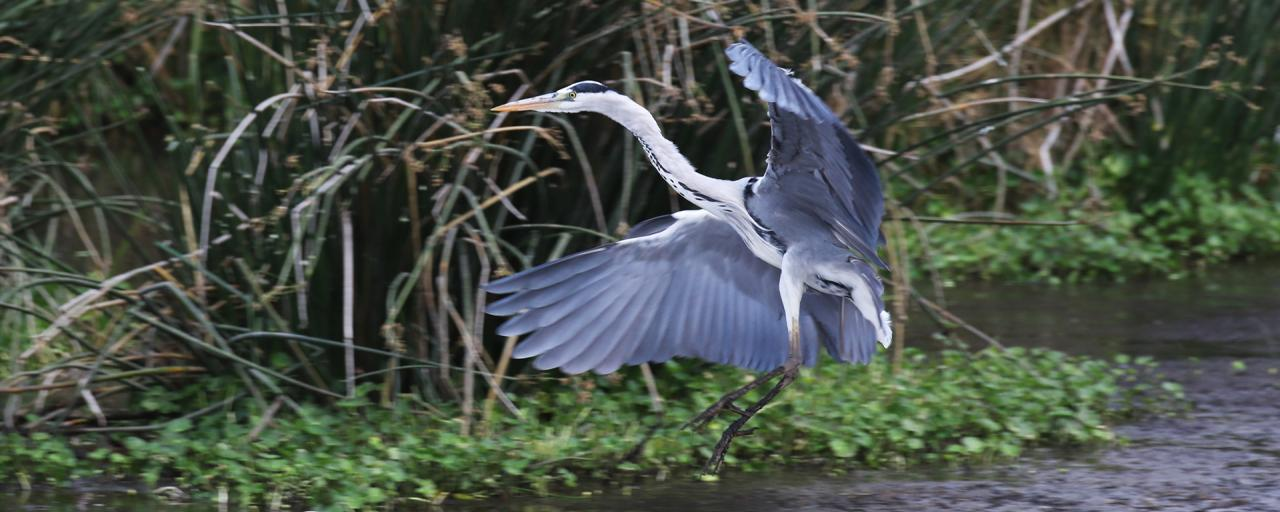 grey heron in Ngorongoro Conservation Area africa