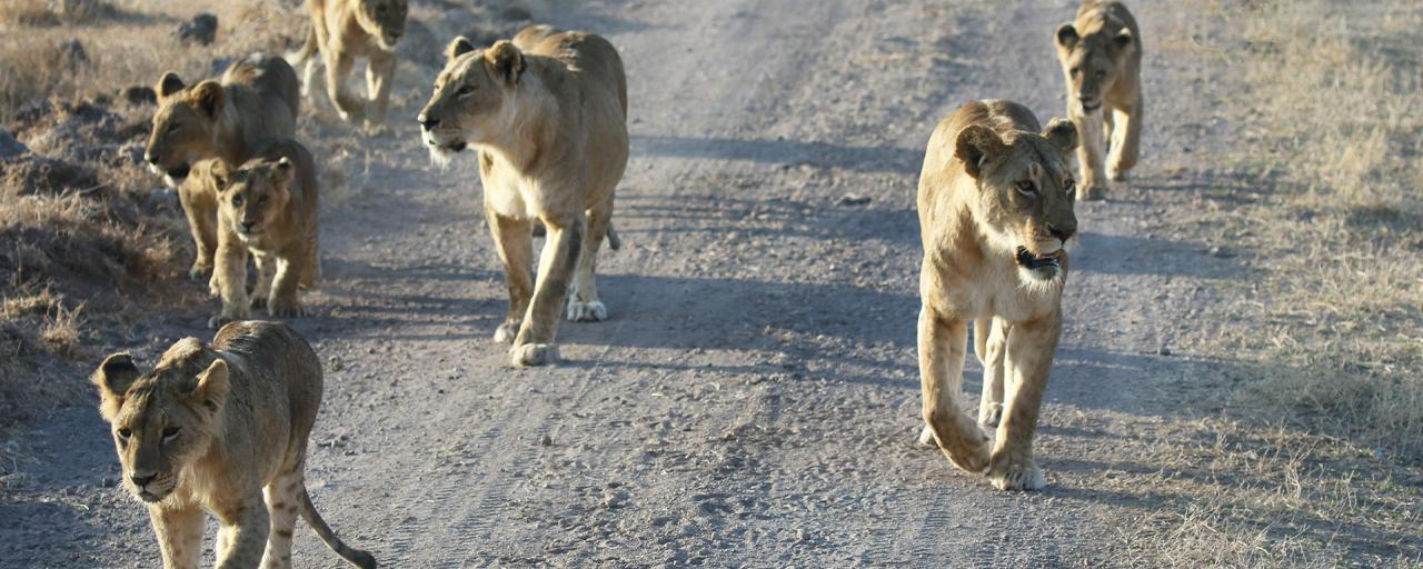 lion pride in Ngorongoro Conservation Area
