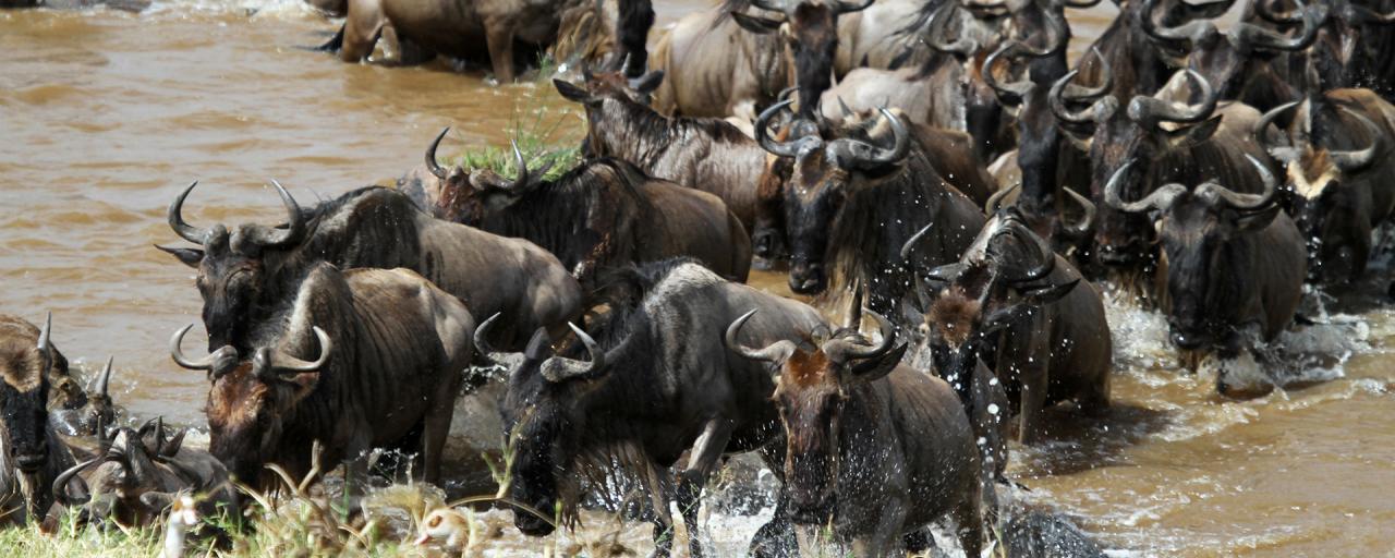 Serengeti National Park: Great Migration crossing the Mara River