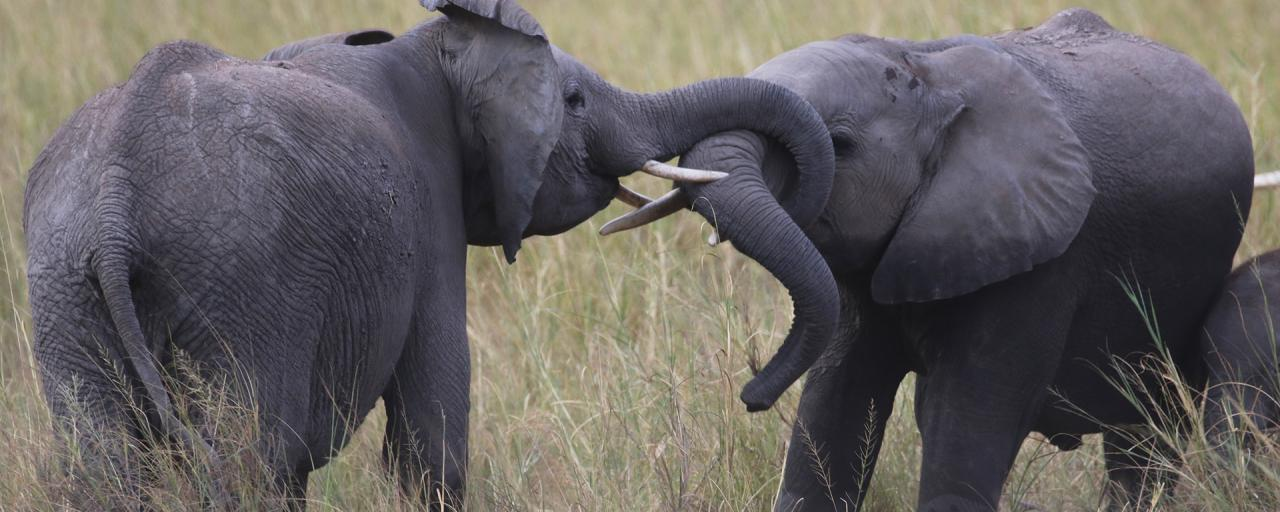 """Amboseli National Park well knows as the """"elephants park"""" here there are the most beautiful elephants in all Africa"""
