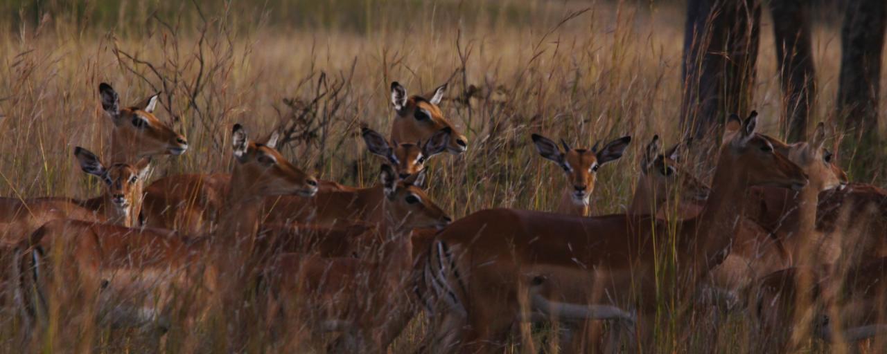 zimbabwe antilopi hwange