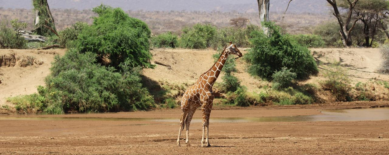 samburu giraffe reticulated giraffe romina facchi kenya