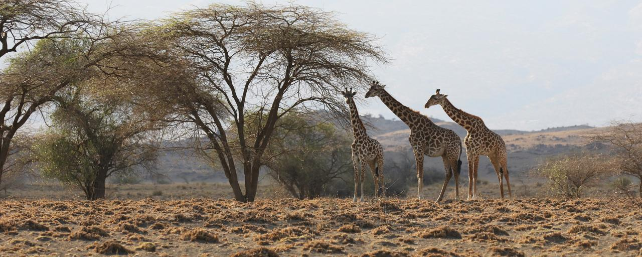 lake natron tanzania giraffes safariadv exploringafrica rominafacchi