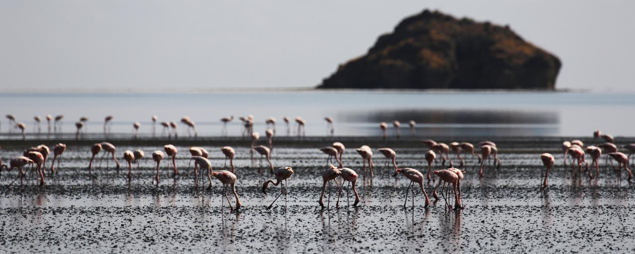 Lesser Flamingo lake Natron Tanzania Africa Great Rift Valley