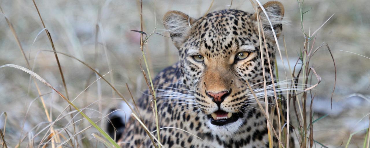botswana safari leopard africa safariadv exploringafrica romina facchi