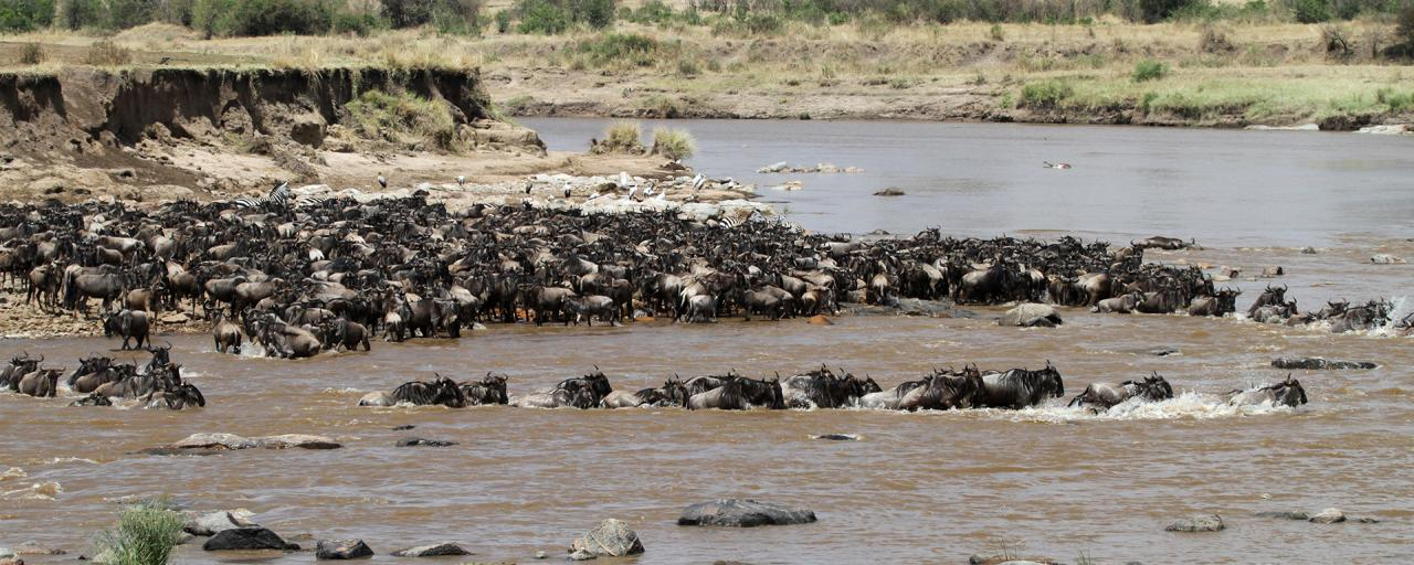 The Great Migration in Serengeti National Park in Tanzania: crossing Mara River, beautiful landscape with acacia and thousands of wildebeest aka gnus