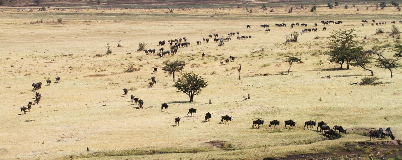 The Great Migration in Serengeti National Park: wildebeests and zebras go back to north to Maasai Mara River