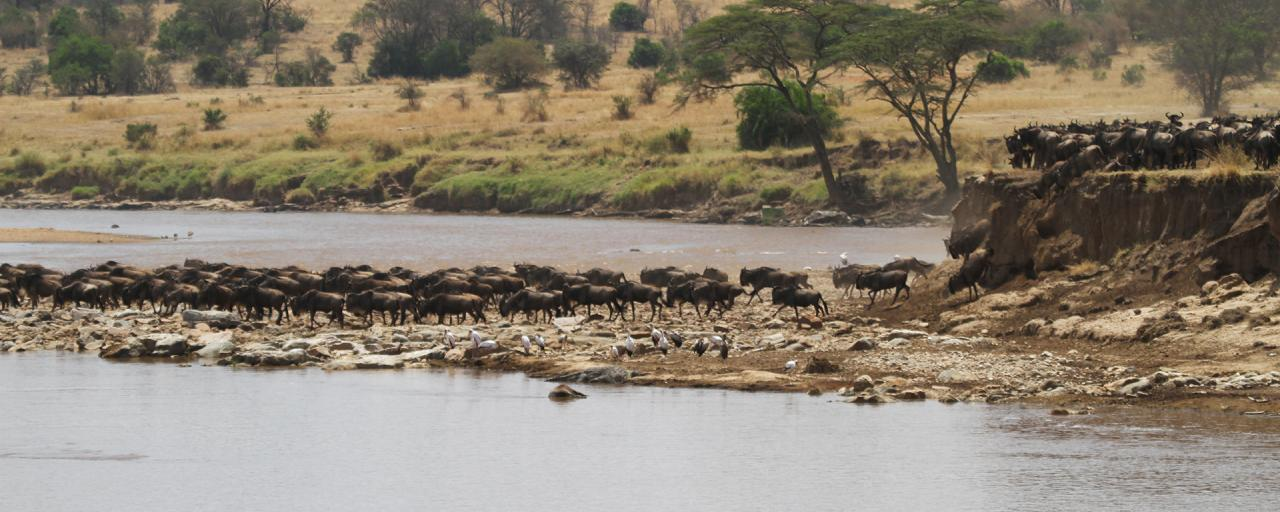 The Great Migration in Serengeti National Park: wildebeests and zebras cross the Mara River