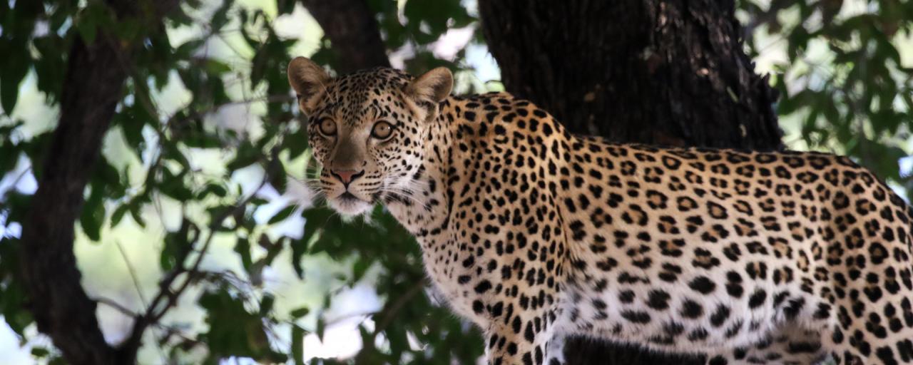 botswana moremi leopard romina facchi exploringafrica safariadv