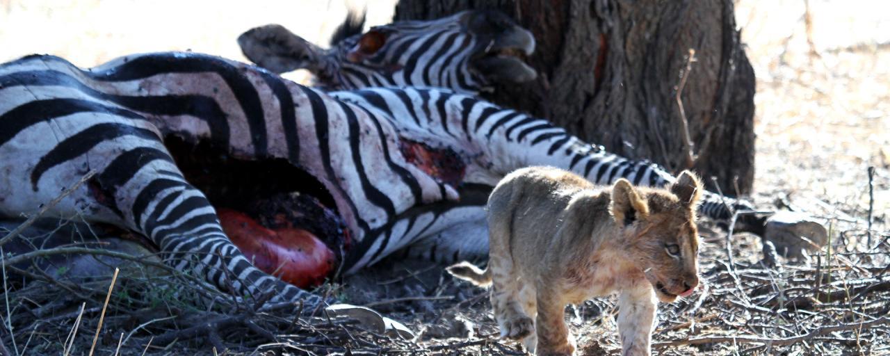 tanzania ruaha lion exploringafrica safariadv romina facchi