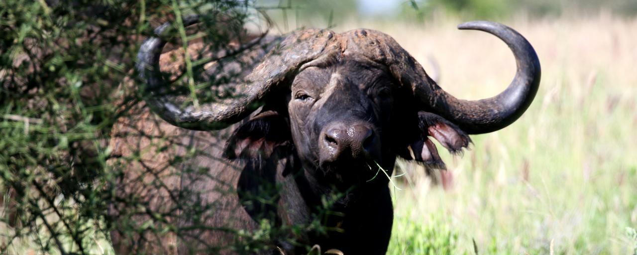 kenya tsavo buffalo exploringafrica safariadv