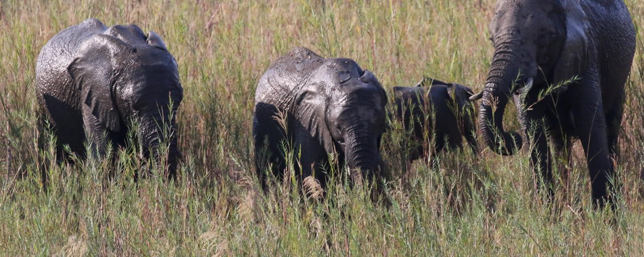 south africa sudafrica exploringafrica safariadv kruger elephant safari travelvel