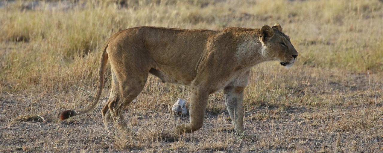 amboseli lion romina facchi exploringafrica safariadv travel viaggio africa kenya