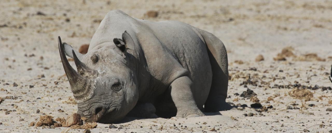 namibia etosha exploringafrica safariafv safari rominafacchi namib rino rhino