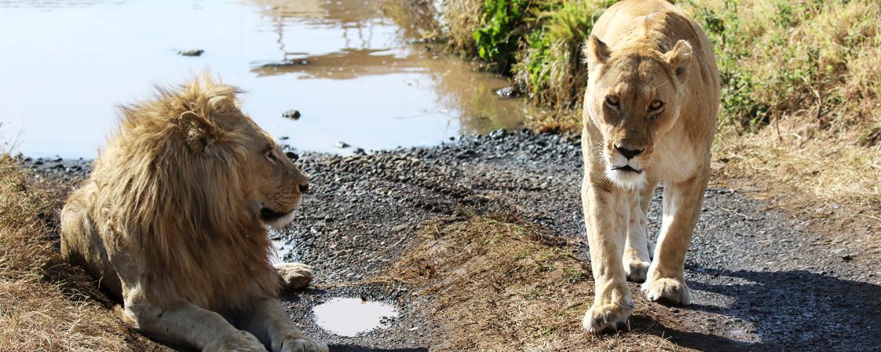ngorongoro tanzania africa exploringafrica safariadv lions romina facchi