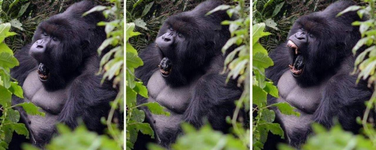 uganda rwanda gorilla exploringafrica safariadv travel