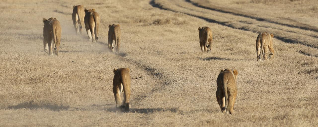 exploringafrica safariadv romina facchi arica leoni ngorongoro safari tanzania lion