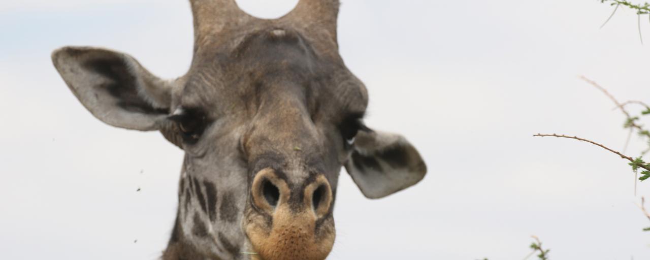 giraffe worldgiraffeday exploringafrica safariadv romina facchi