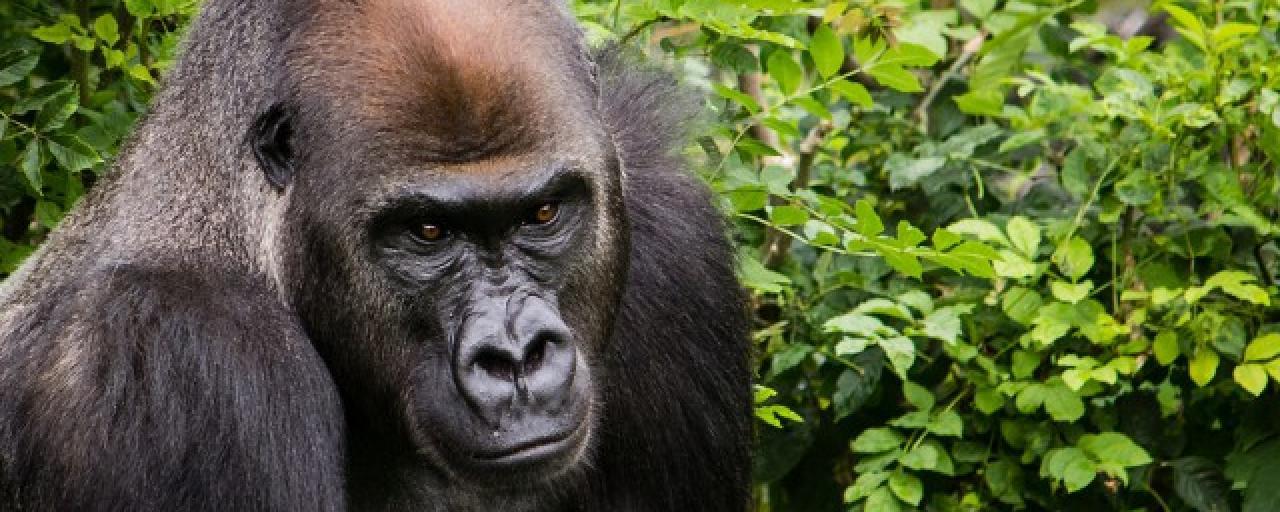 exploringafrica sfariadv africa virunga gorilla congo rwanda uganda