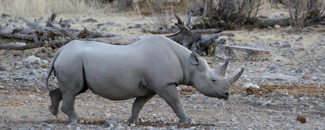 namibia etosha exploringafrica safariafv safari rominafacchi namib rino rhino namib rino rhino